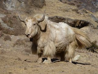 A yak in need of shaving